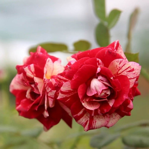 Hoa hồng Julio