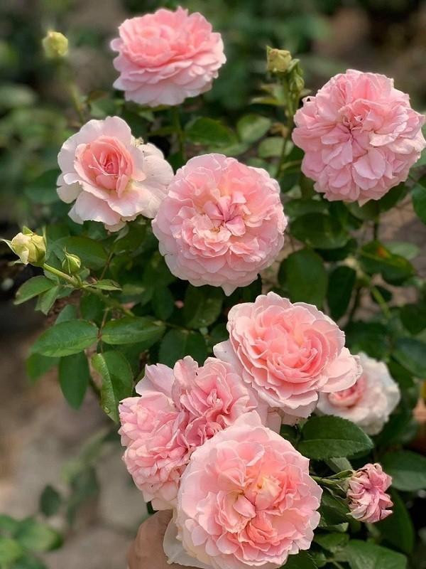 Hoa hồng Miranda