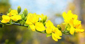 Cây hoa mai có độc không