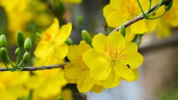 Cây hoa mai