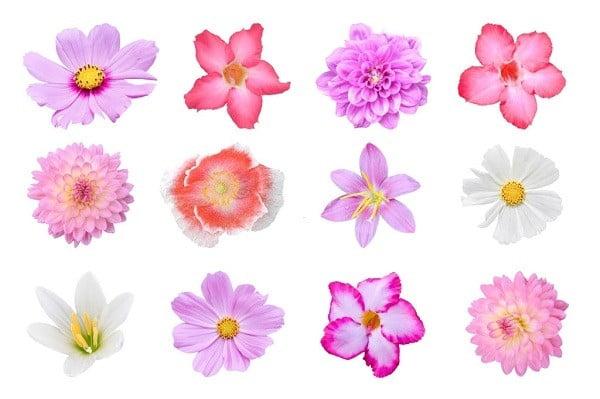 hoa cúc các loại