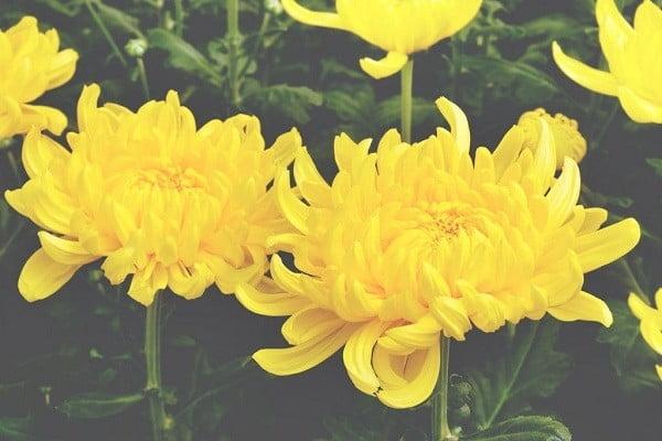 Hoa cúc vàng đại đóa
