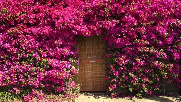 Hoa giấy nhiều hoa