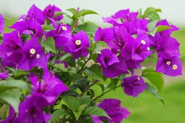 Hoa giấy Vạn Hoa Lâu