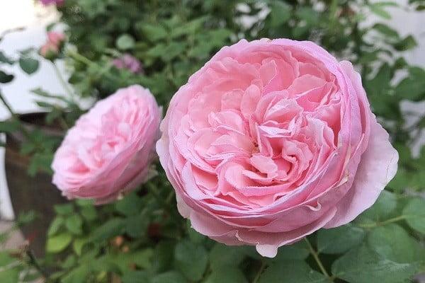 Hoa hồng Carey