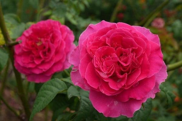 Hoa hồng Kate